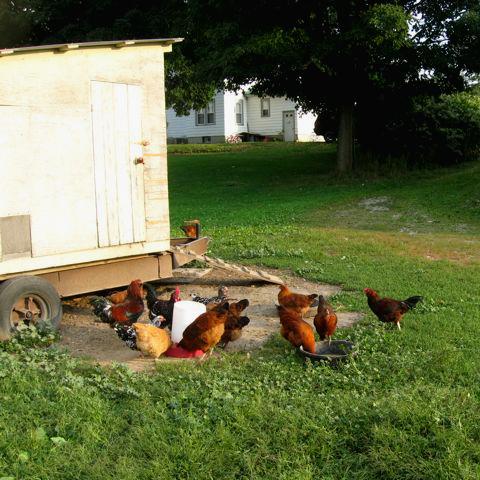 YA-Chickens