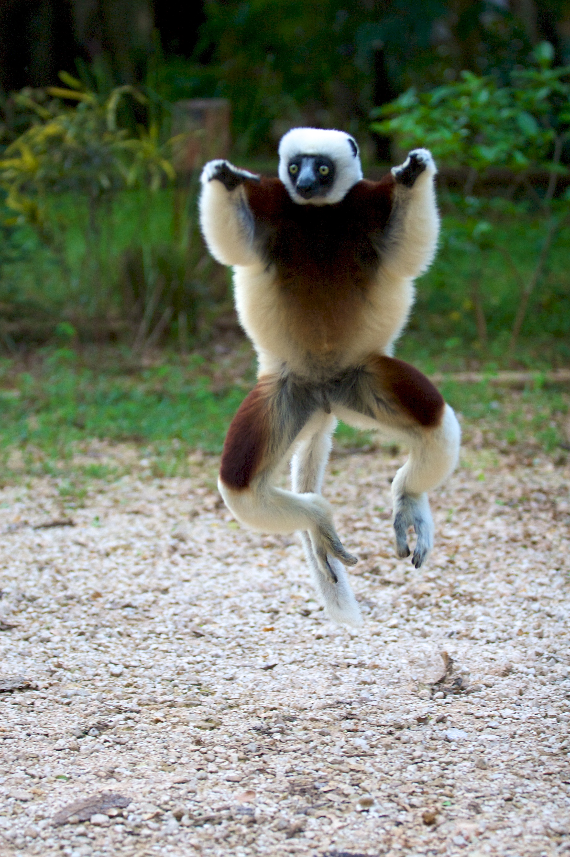 Jumping sifaka in Ankarafantsika National Park. Photo by Travis Steffens