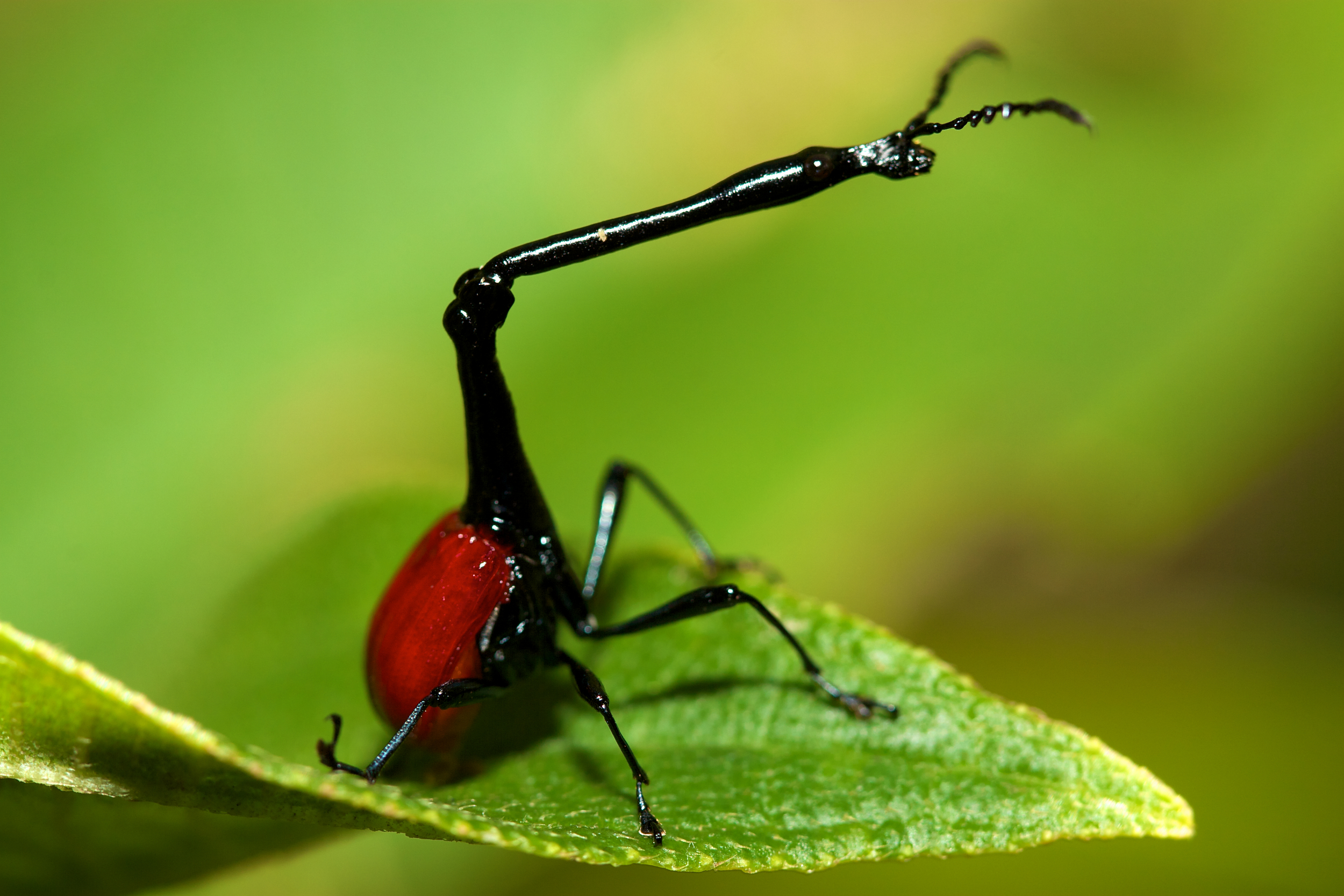 Giraffe necked weevil (beetle). Photo by Travis Steffens