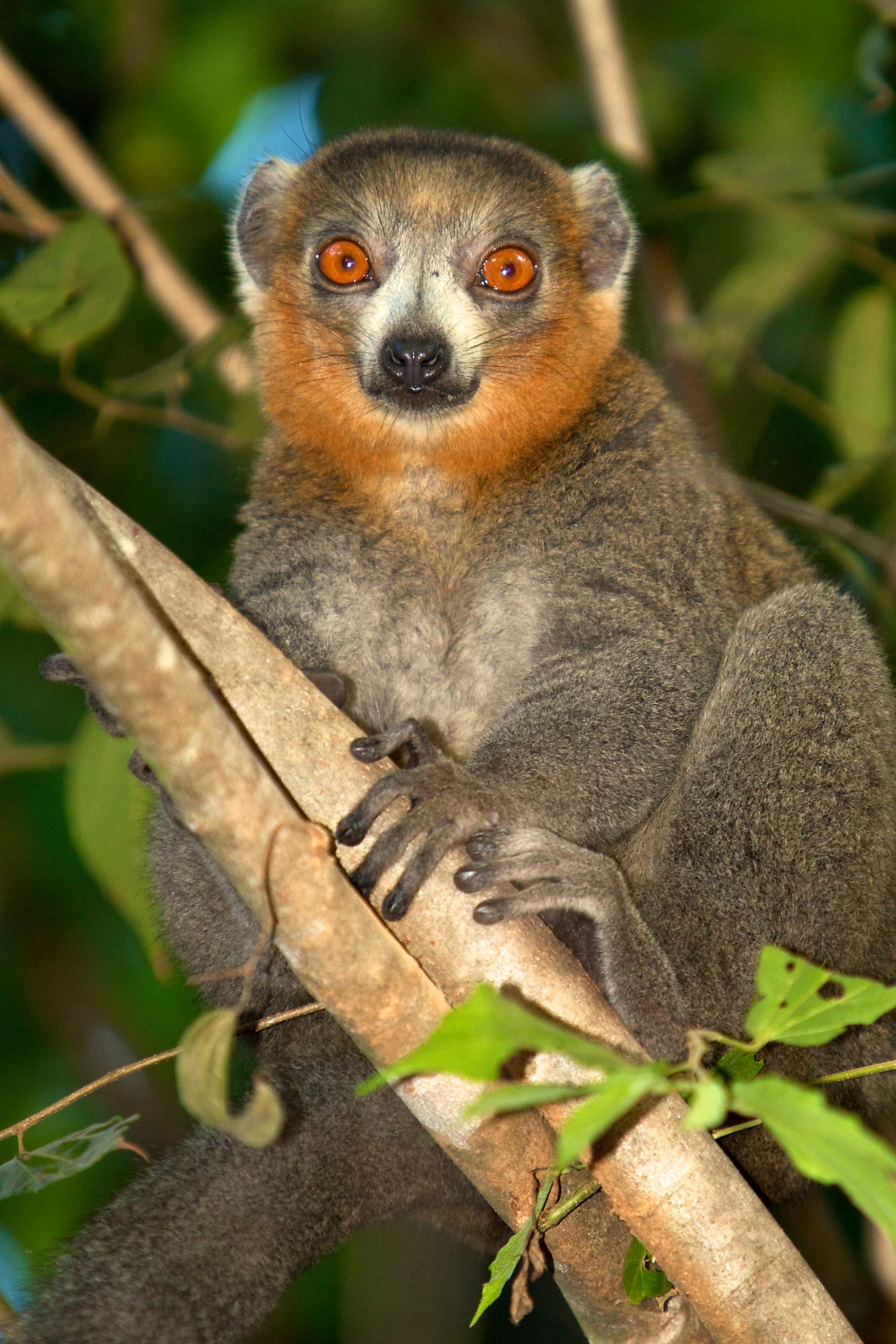 Planet Madagascar_male mongoz.jpg