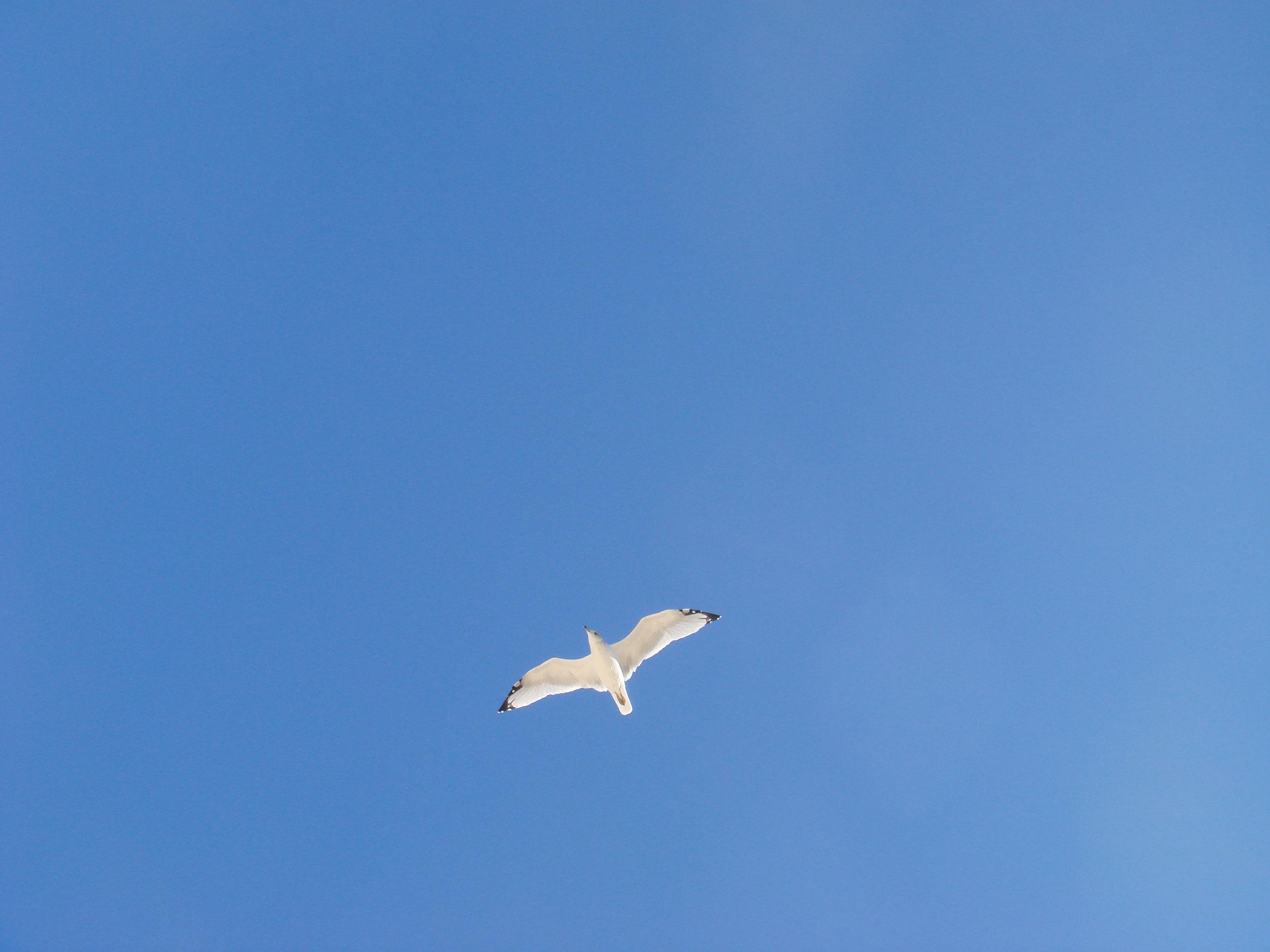 SeagullCal.jpg