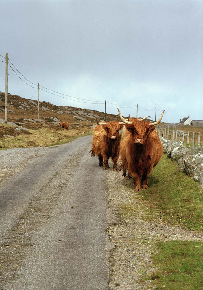 Highland Cattle Coll
