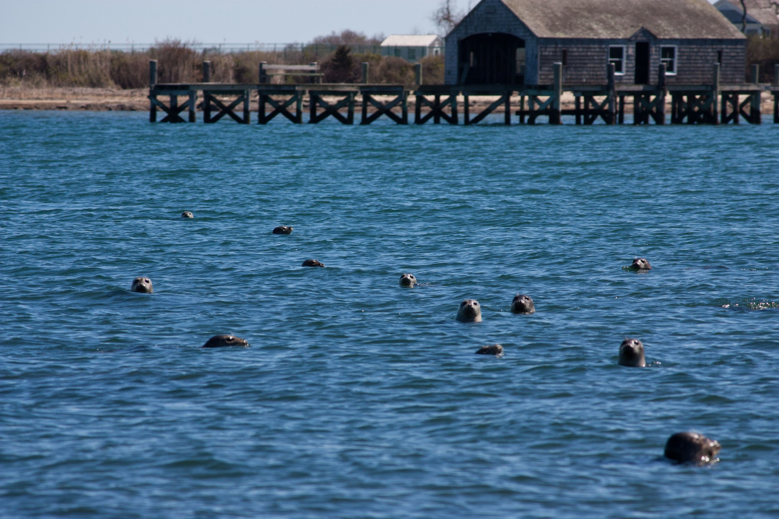 seals-fishers-island-alue-optics.jpg
