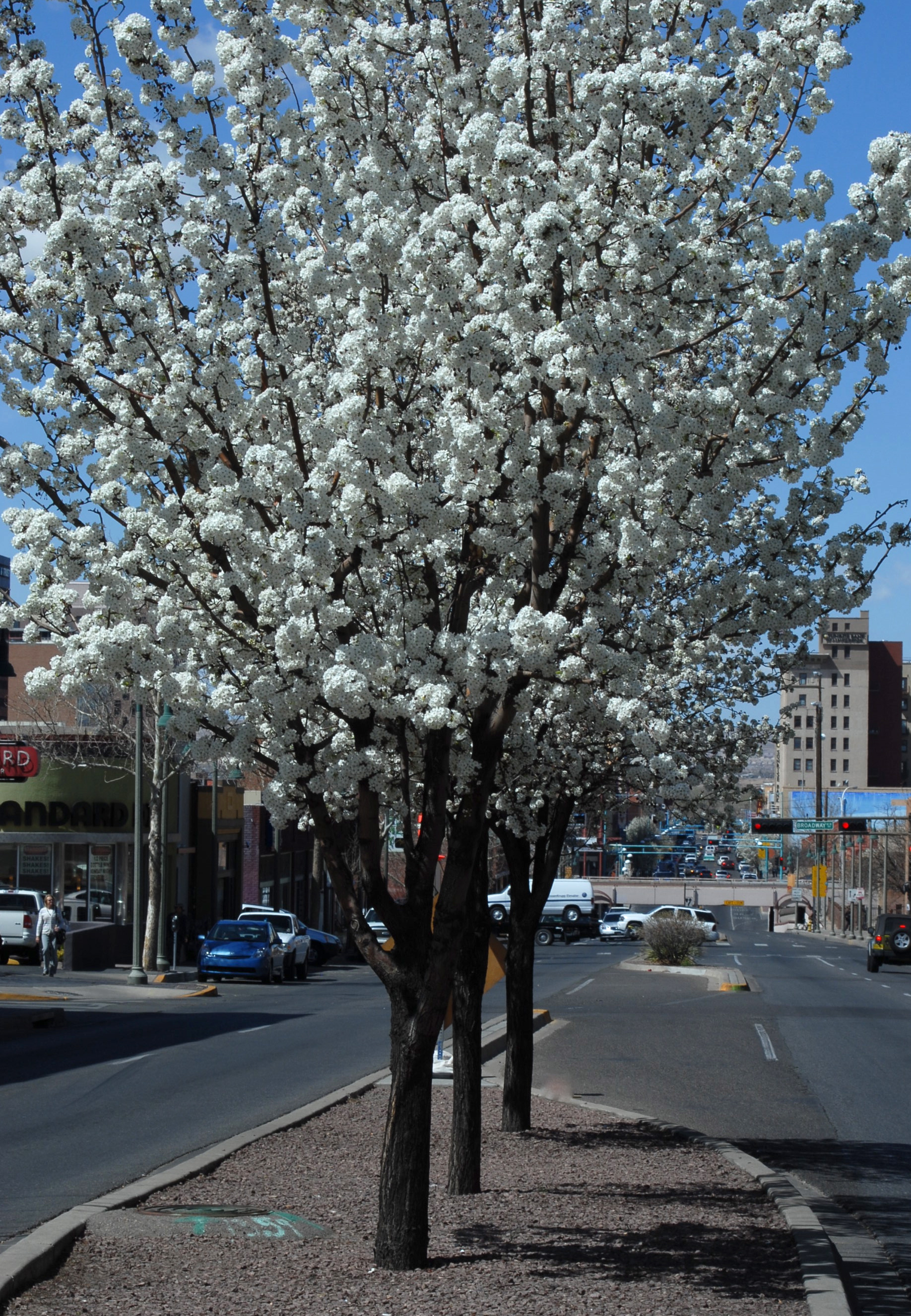 Medians in bloom on Central Ave