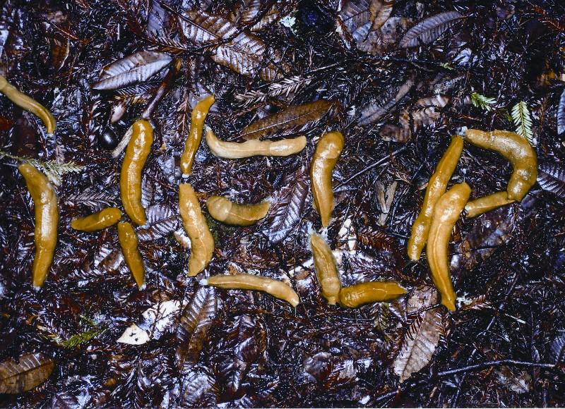 charlie-callahan-bananna-slug photo.jpg