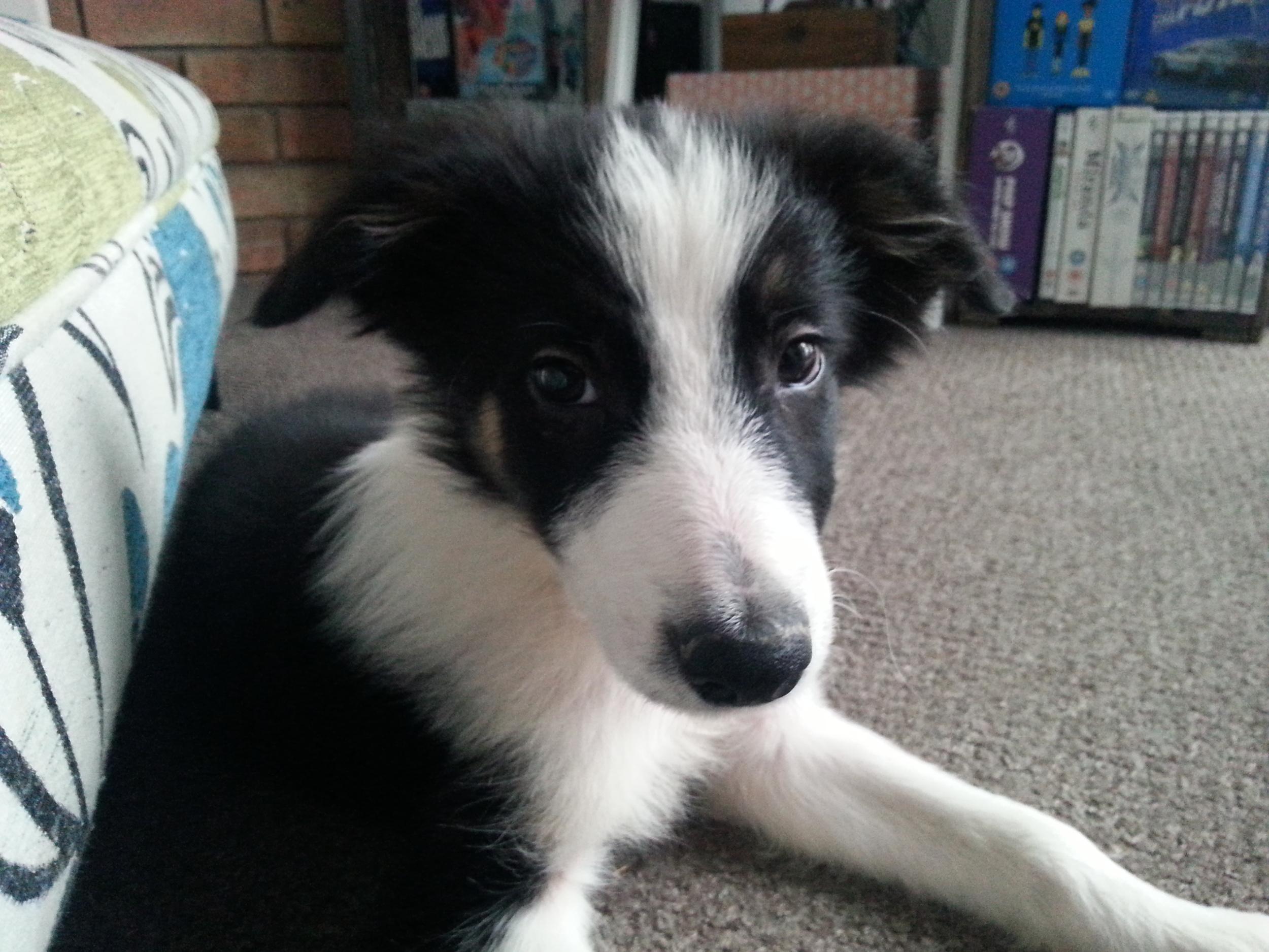 Boder Collie puppy2