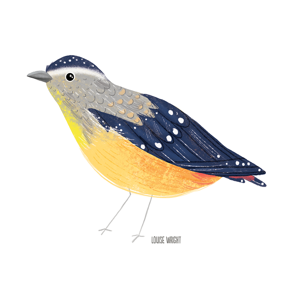 spotted pardalote louise wright.jpg