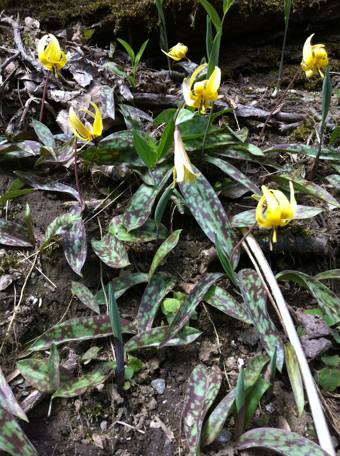 Yellow trout-lily