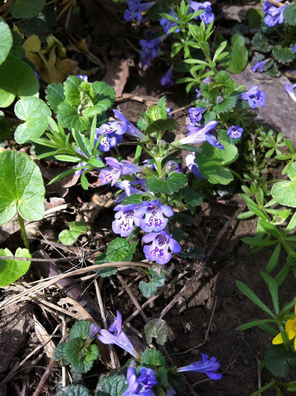Ground-ivy