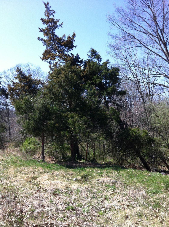 Eastern red-cedar