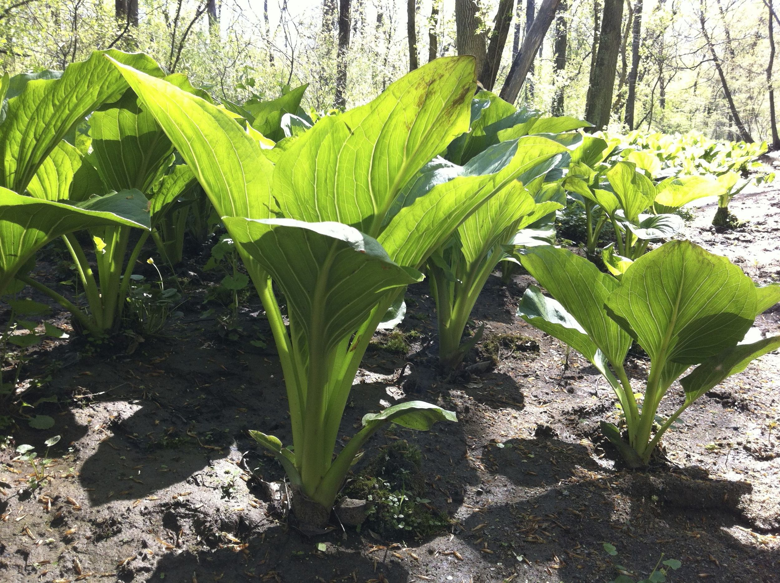 Skunk-cabbage