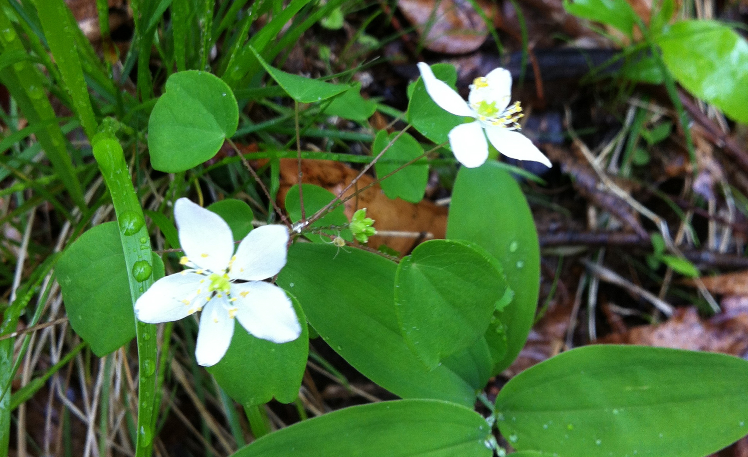 Rue Anemone  Thalictrum thalictroides  (L.) A.J.Eames & B.Boivin  29 April 2013, Stroud Preserve, Chester County, Pennsylvania.