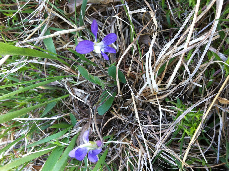 Arrow-leaved violet