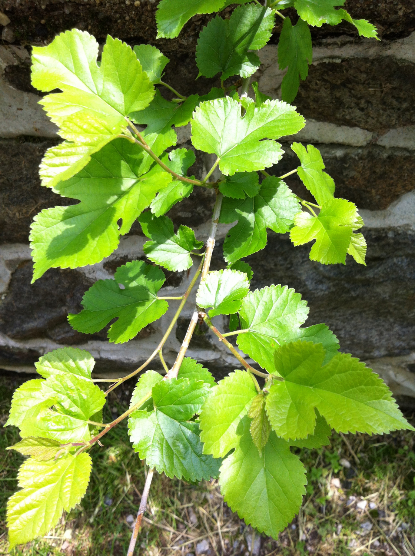 White mulbery