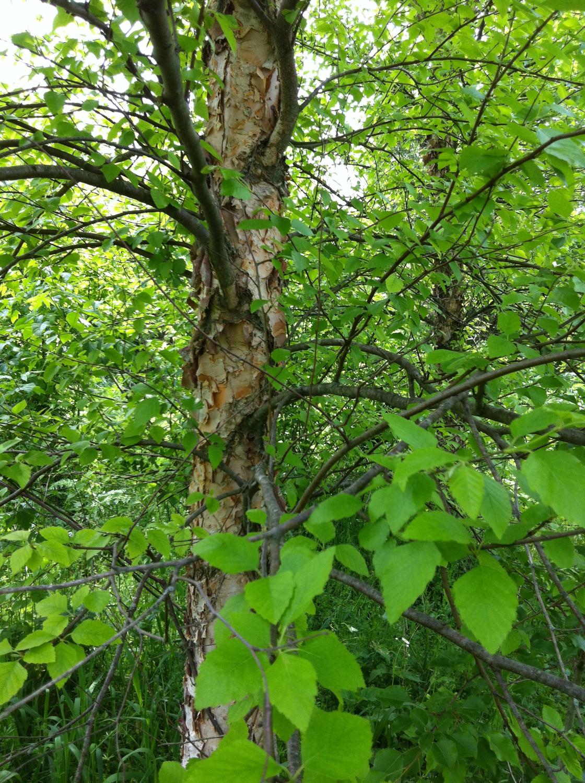 River birch