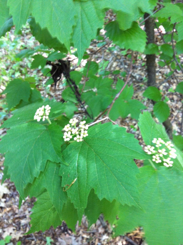 Maple-leaved viburnum