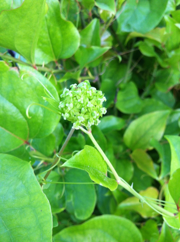 Carrion-flower