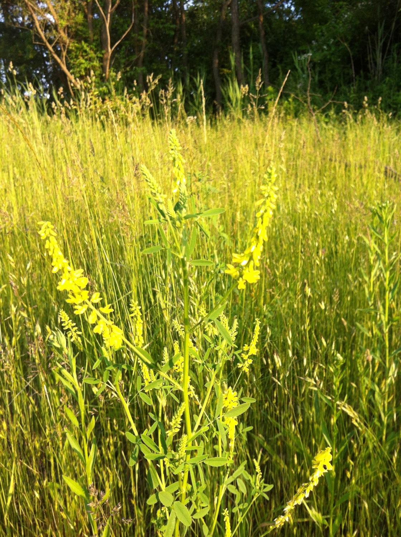 Yellow sweet-clover