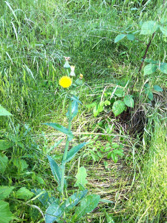 Common sow-thistle