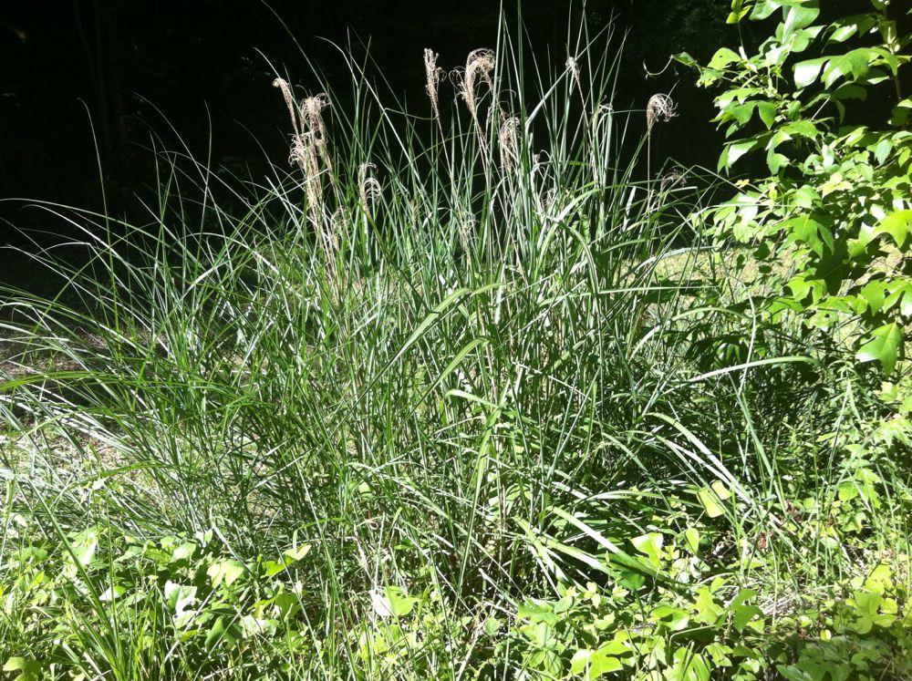 Japanese plumegrass