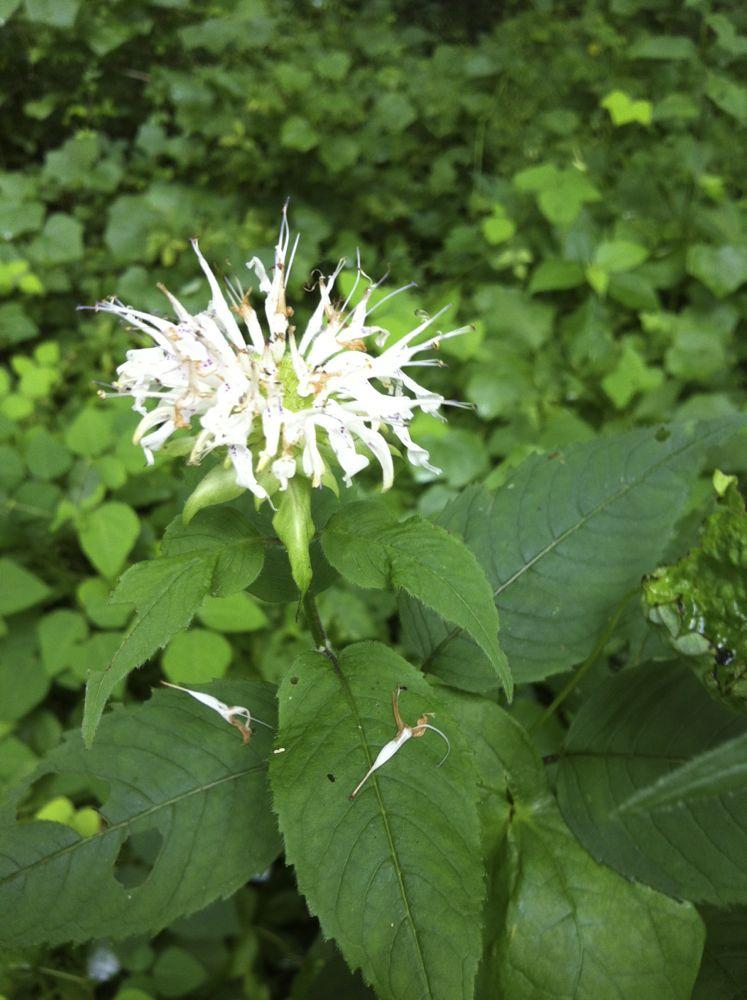 White bergamot