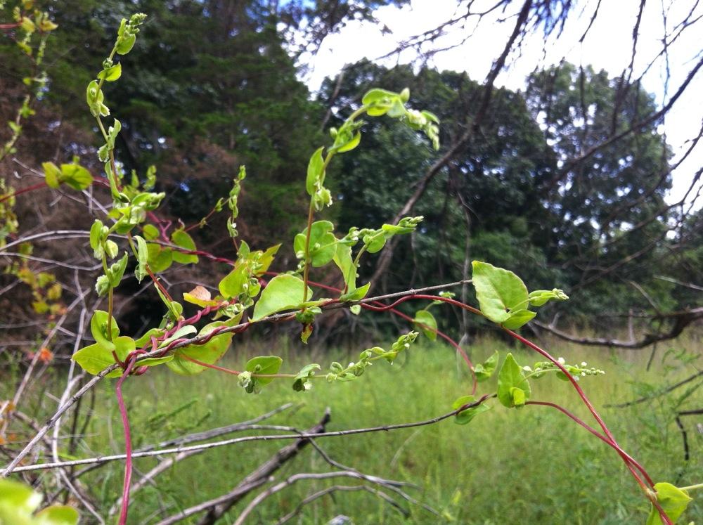 Climbing false buckwheat