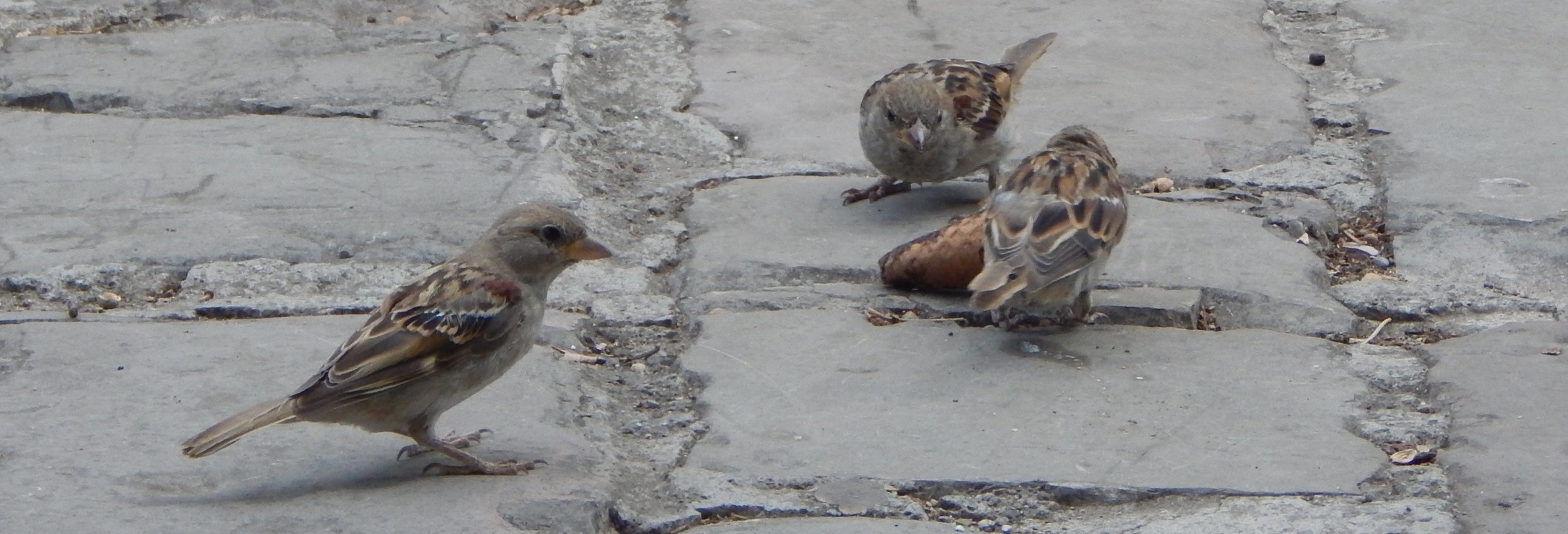 House Sparrows - Dubrovnik, Croatia. Eating ice cream?