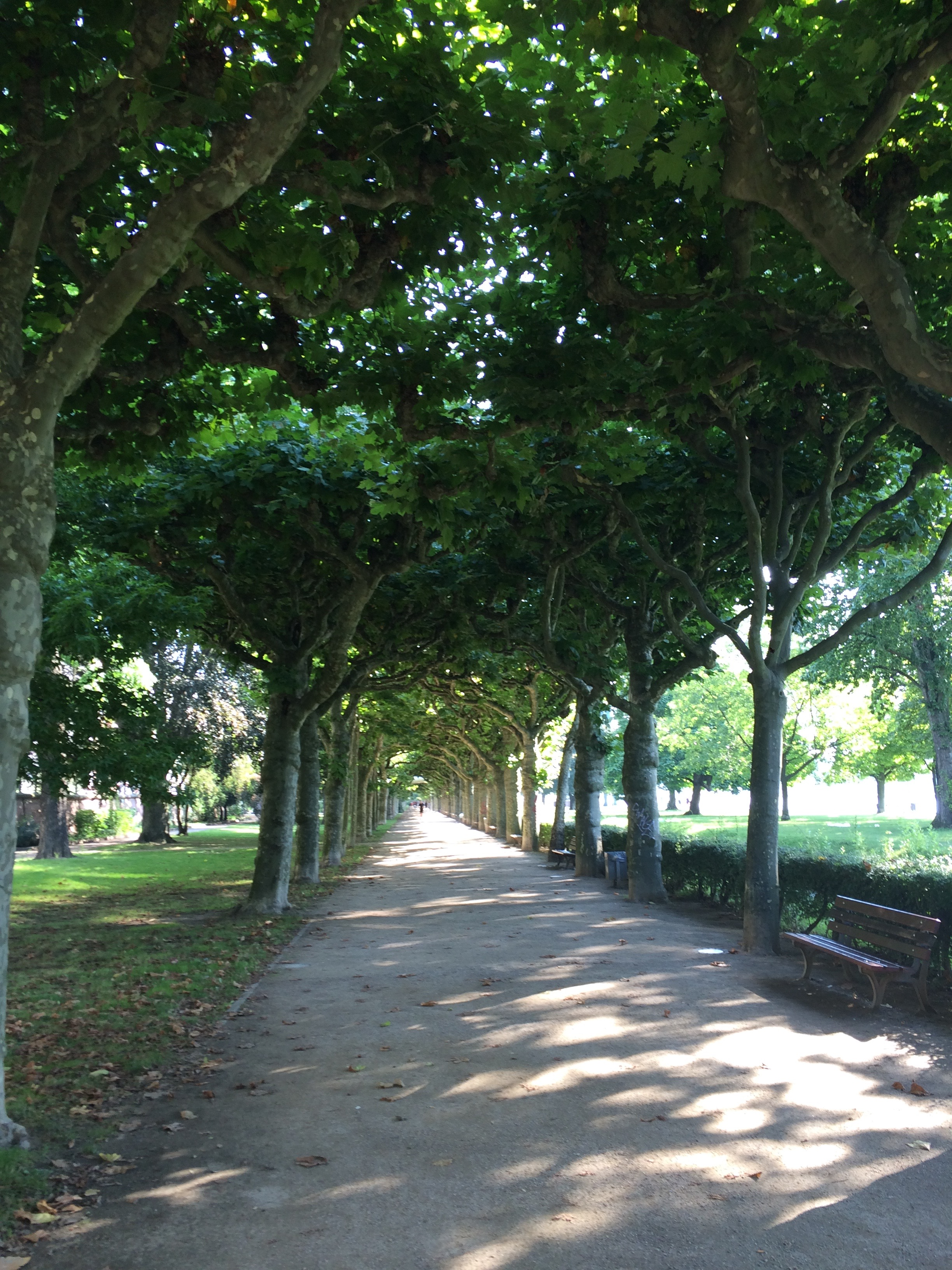 Tree lined walk along Main River, Frankfurt, Germany.