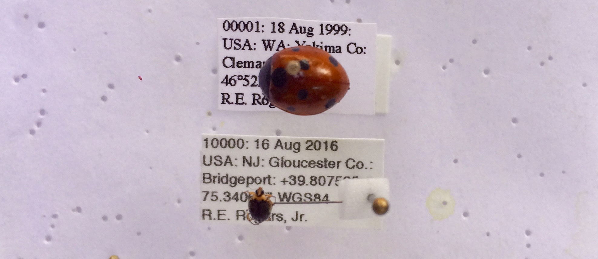 #00001 - Seven Spotted Lady Beetle,  Coccinella septempunctata  Linnaeus 1758, collected at Cleman Mountain, Yakima Co., WA, on 18 August 1999; #10000 - Crawling Water Beetle,  Peltodytes edentulus  (LeConte 1863), collected at Bridgeport Township, Gloucester Co., NJ on 16 August 2016.