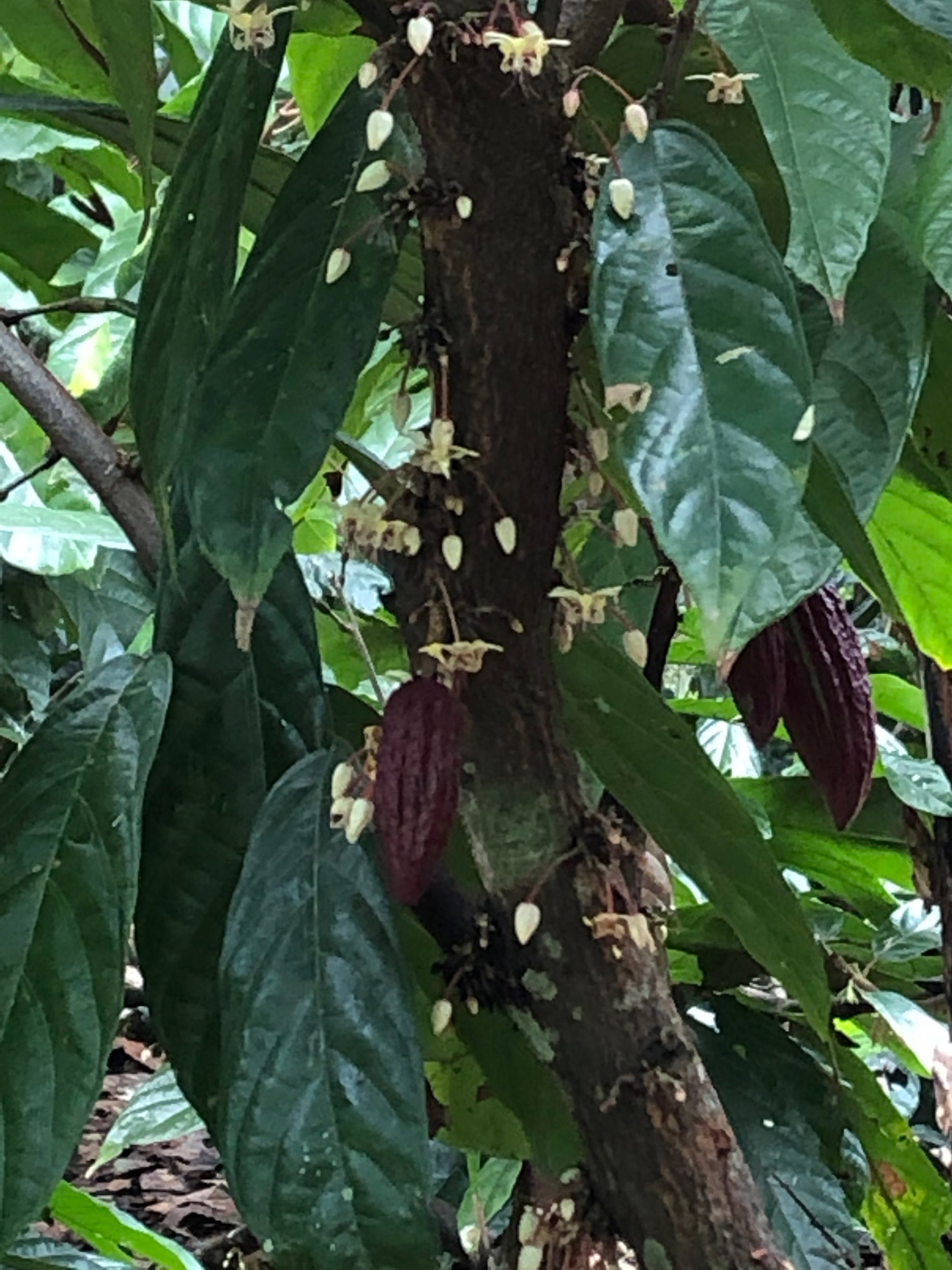 Cocoa tree flowers. They said that a species of mosquito is the pollinator.
