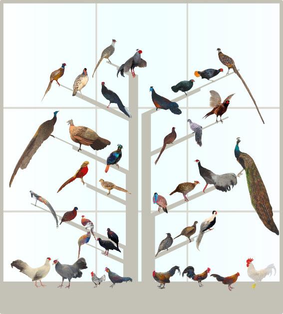 CChorus_NHM_MassDisplaysAPP_Pheasants.jpg