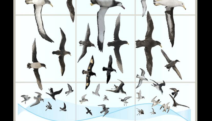 cchorus_NHMmassDispl_0001_CChorus_NHM_MassDisplaysAPP_Seabirds-copy.png