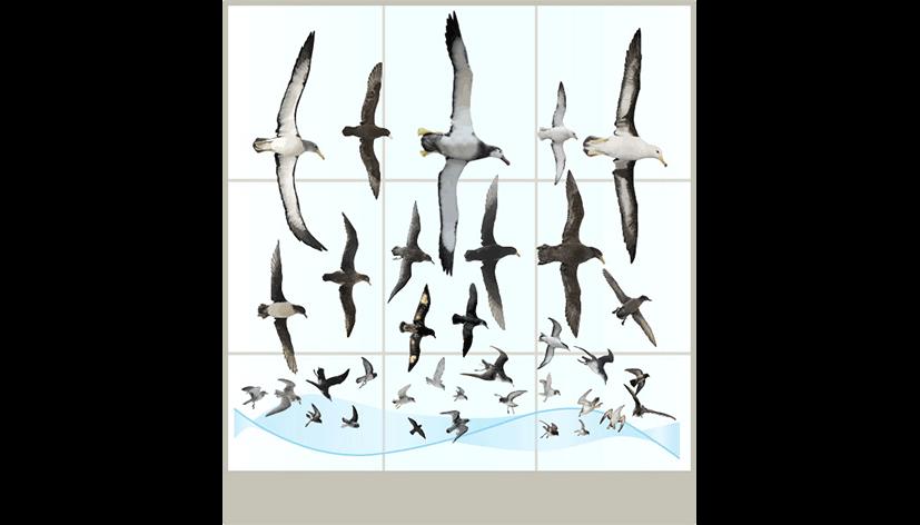 cchorus_NHMmassDispl_0002_CChorus_NHM_MassDisplaysAPP_Seabirds.png