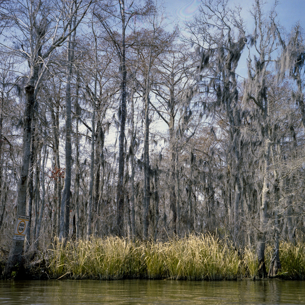 Bald CyprusTrees in hibernation on a swamp tour. These trees are very resilient, I was told when Katerina came through they were toppled over but then just bounced right back up.