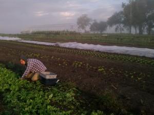 Zach Harvesting Arugula