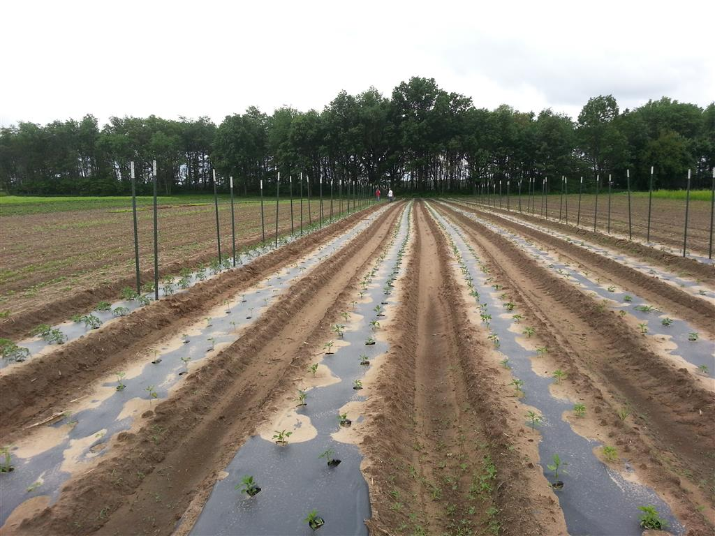 Second Summer Planting, Staking