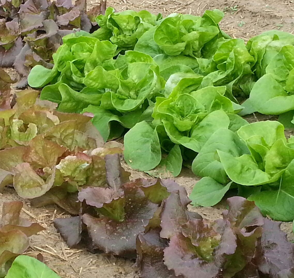 Butterhead lettuce, and others