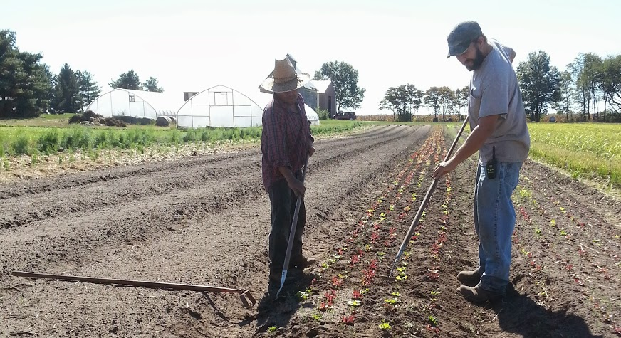Completing weeding of salad mix lettuces