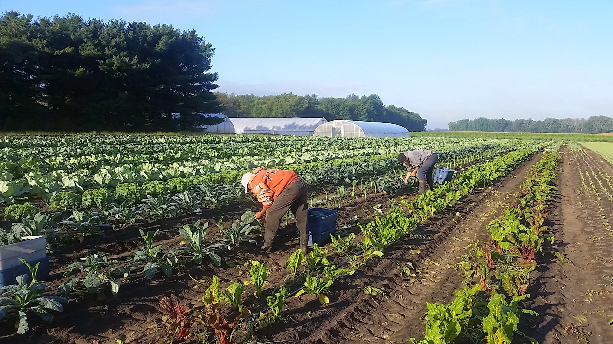 Harvesting Lacinato Kale