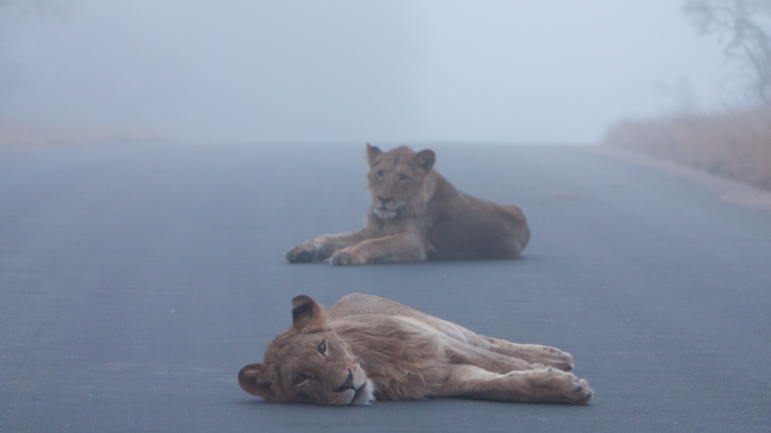 A pride of lions rests in the road early in the morning