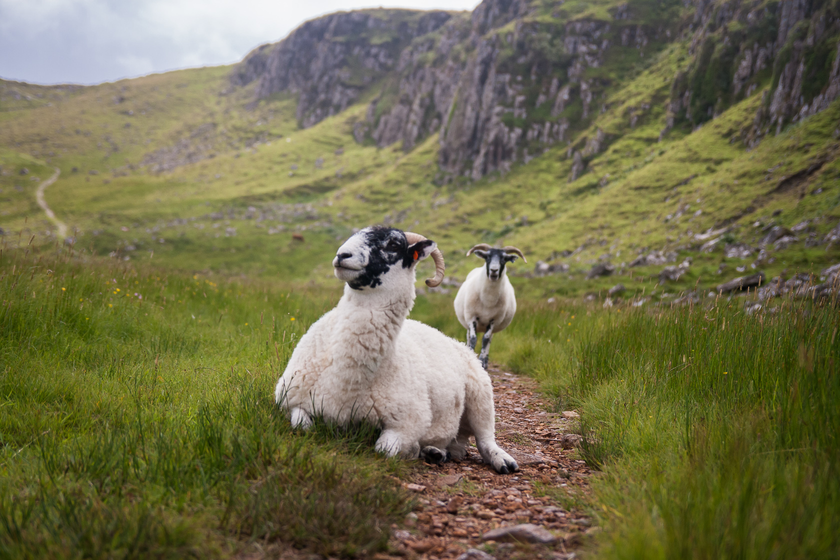 Sheep rest on a path on the Isle of Skye