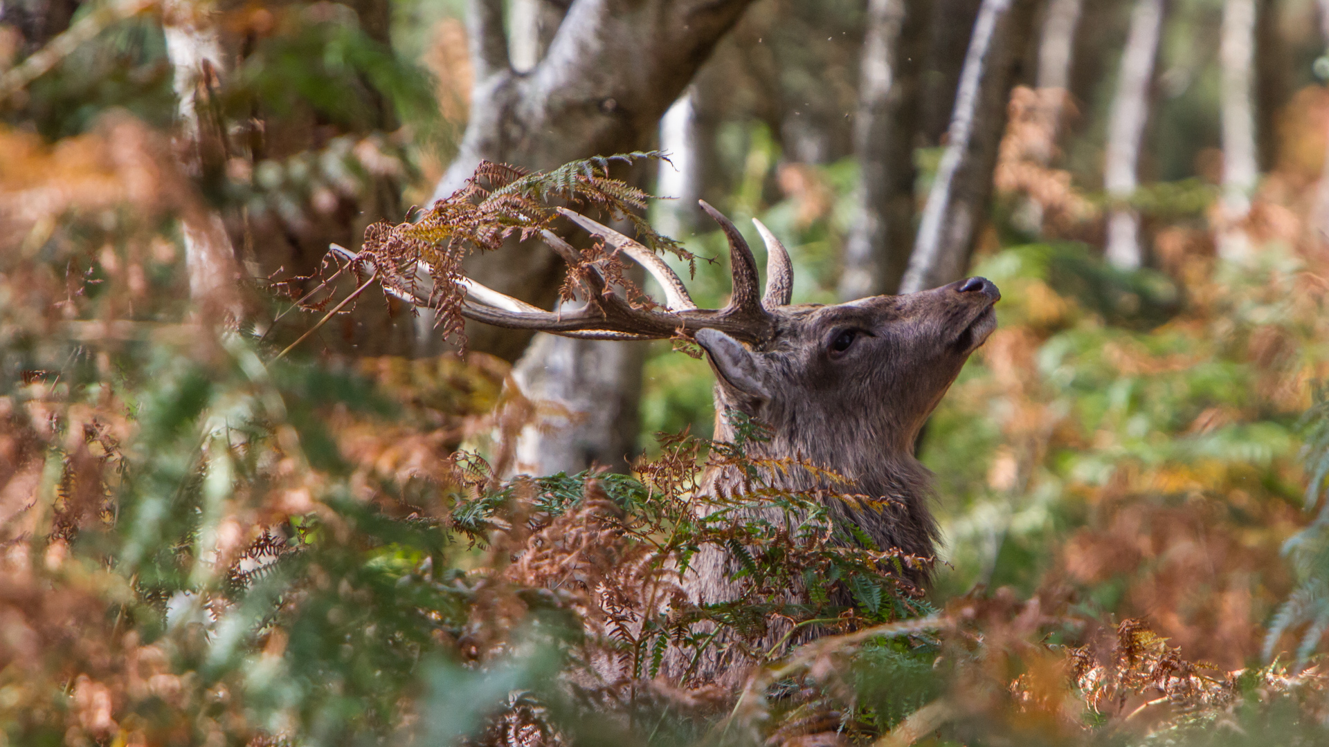 A male Sika deer adorns his antlers with bracken during the rut