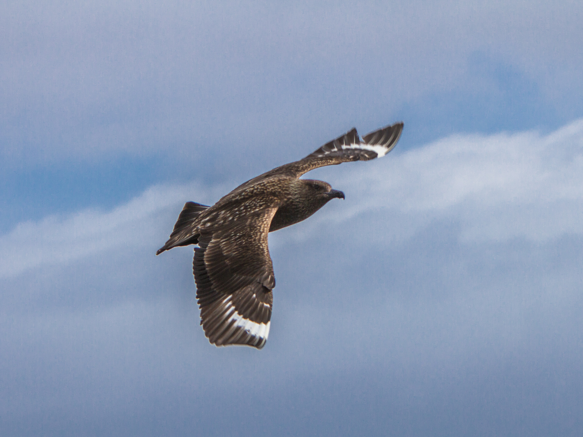 Great Skua, also known as a Bonxie, follows the boat