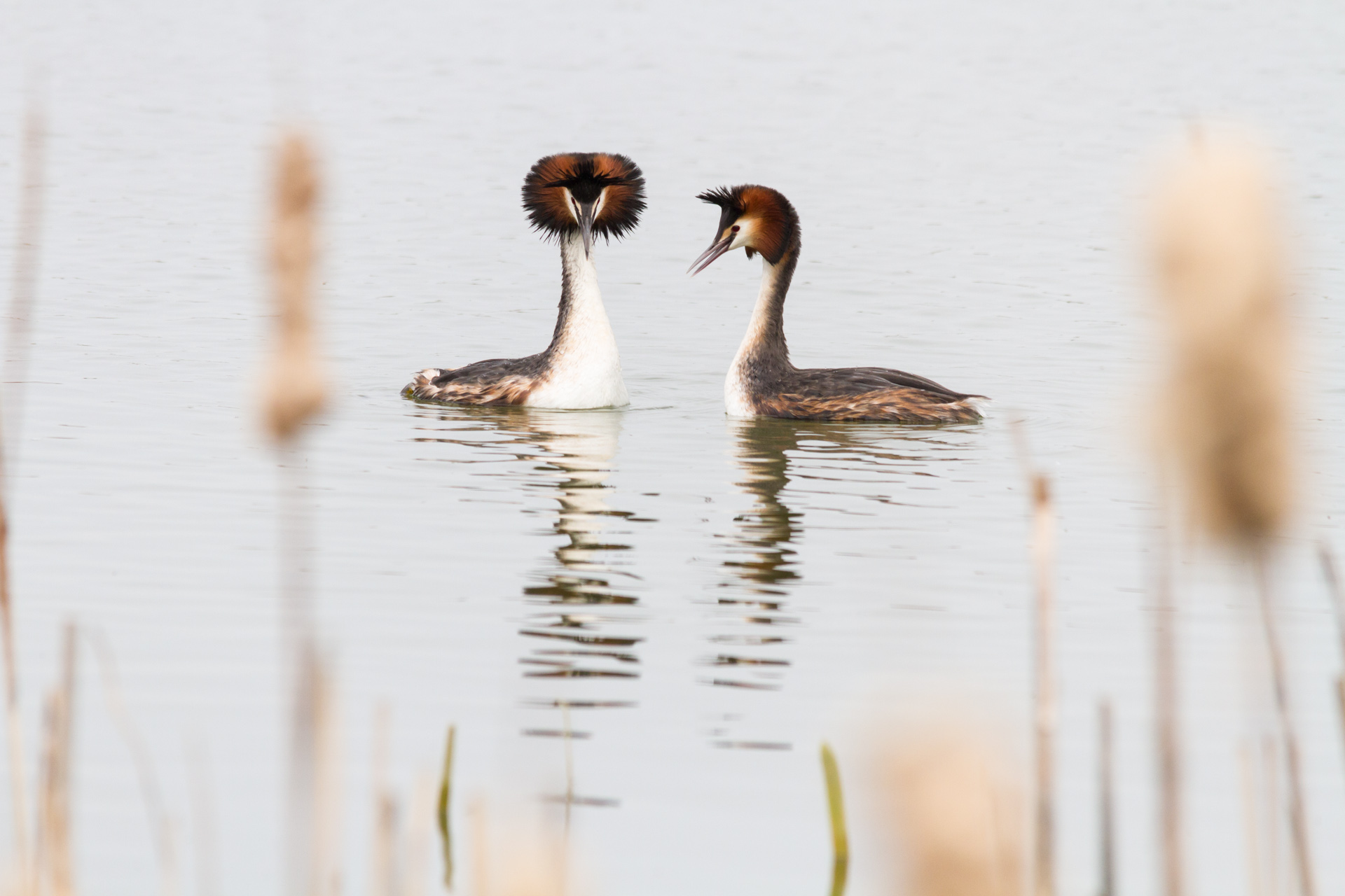 A courting pair of Great Crest Grebes perform a dance
