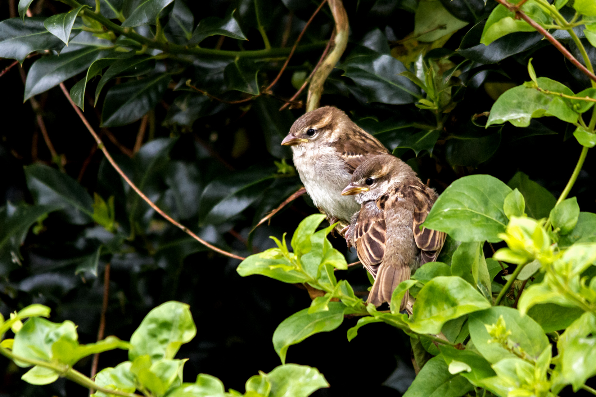 Two young House Sparrows recently fledged sit in the sunlight