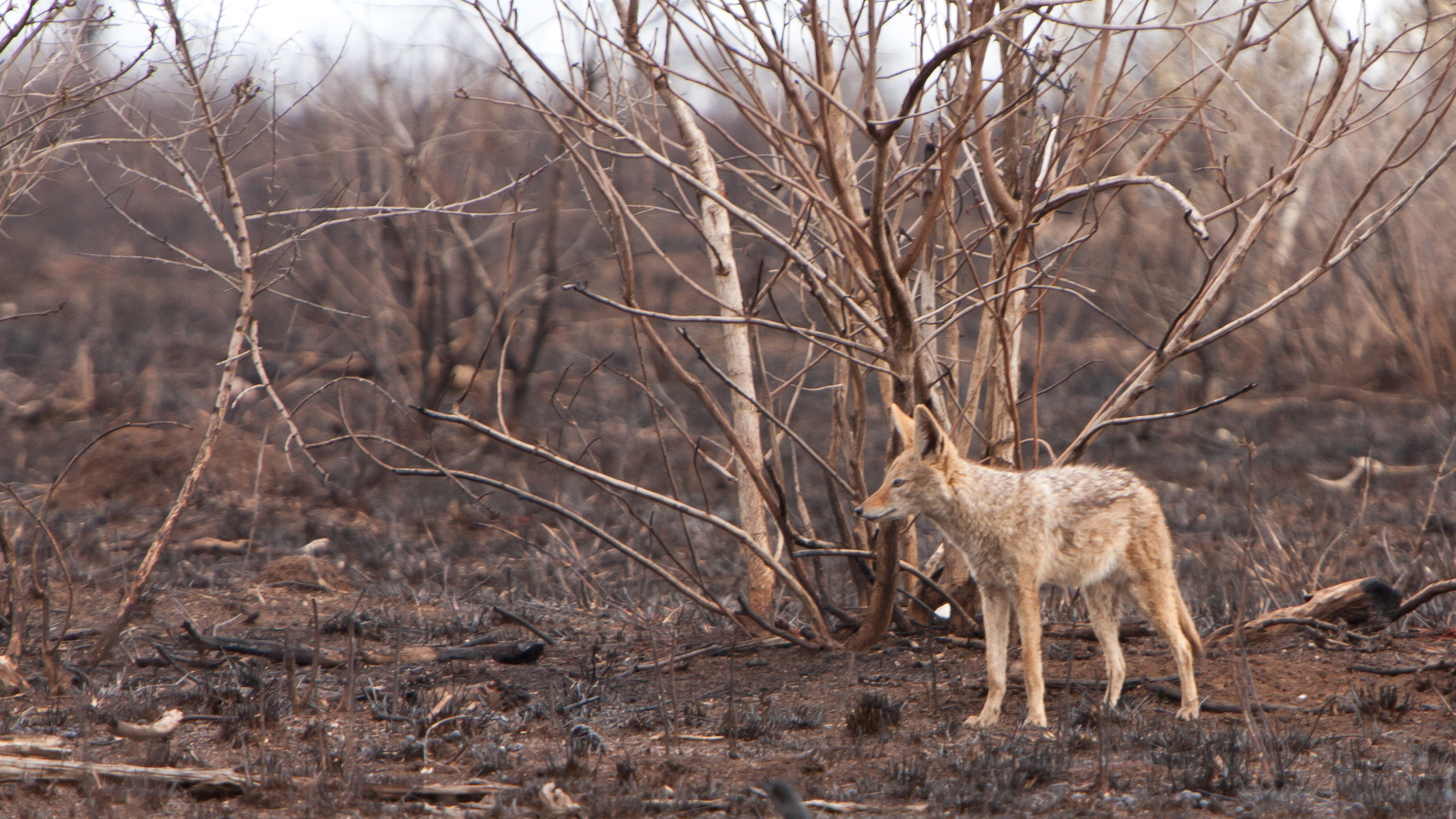 A Jackel stands on recently burnt ground