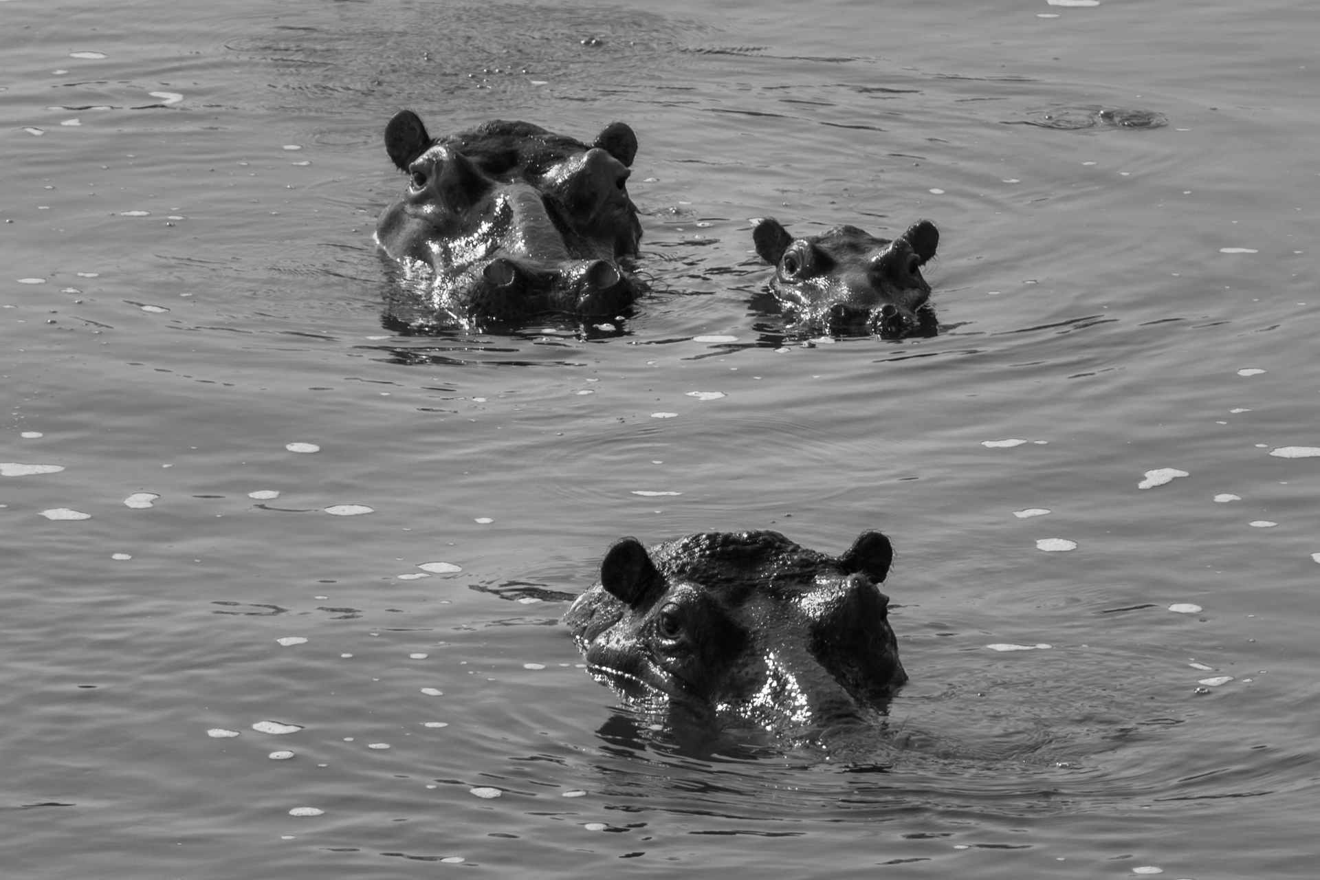 A family of Hippos seem to pose for the photo