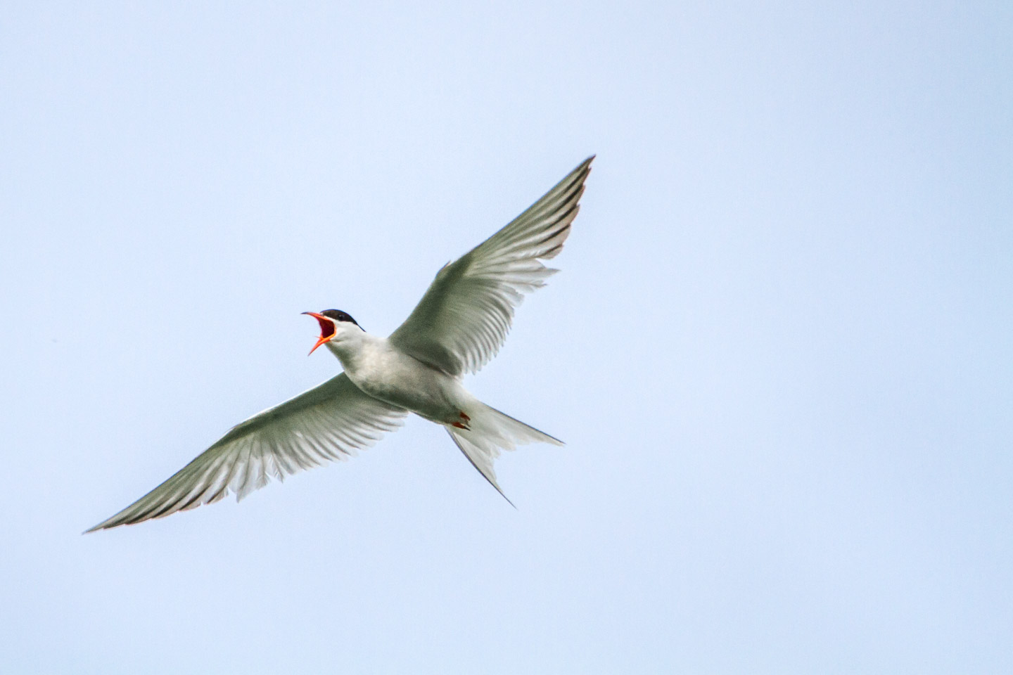 An Arctic Tern defends its nesting area