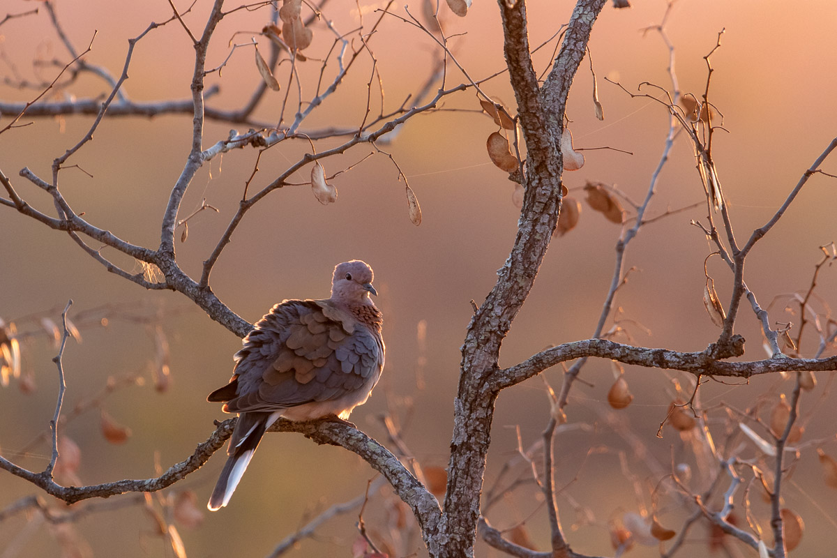 A Laughing Dove preens itself at sunset