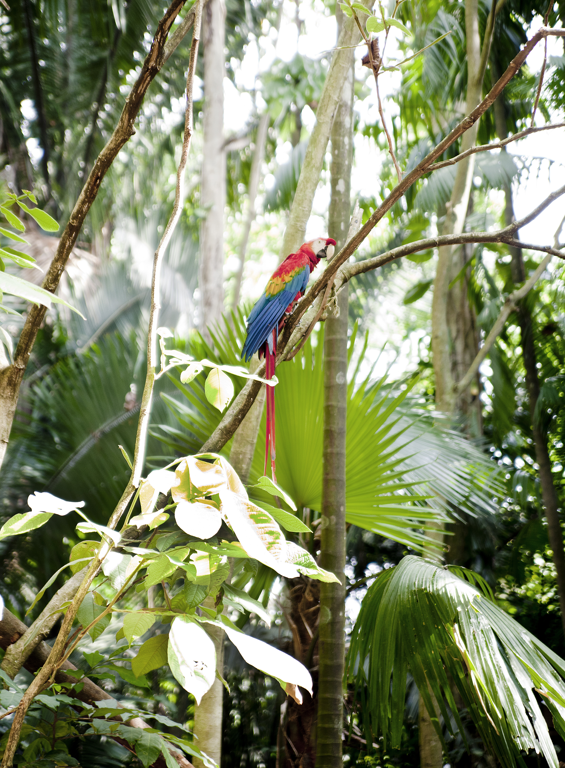 Macaw, Mamirauá Reserve